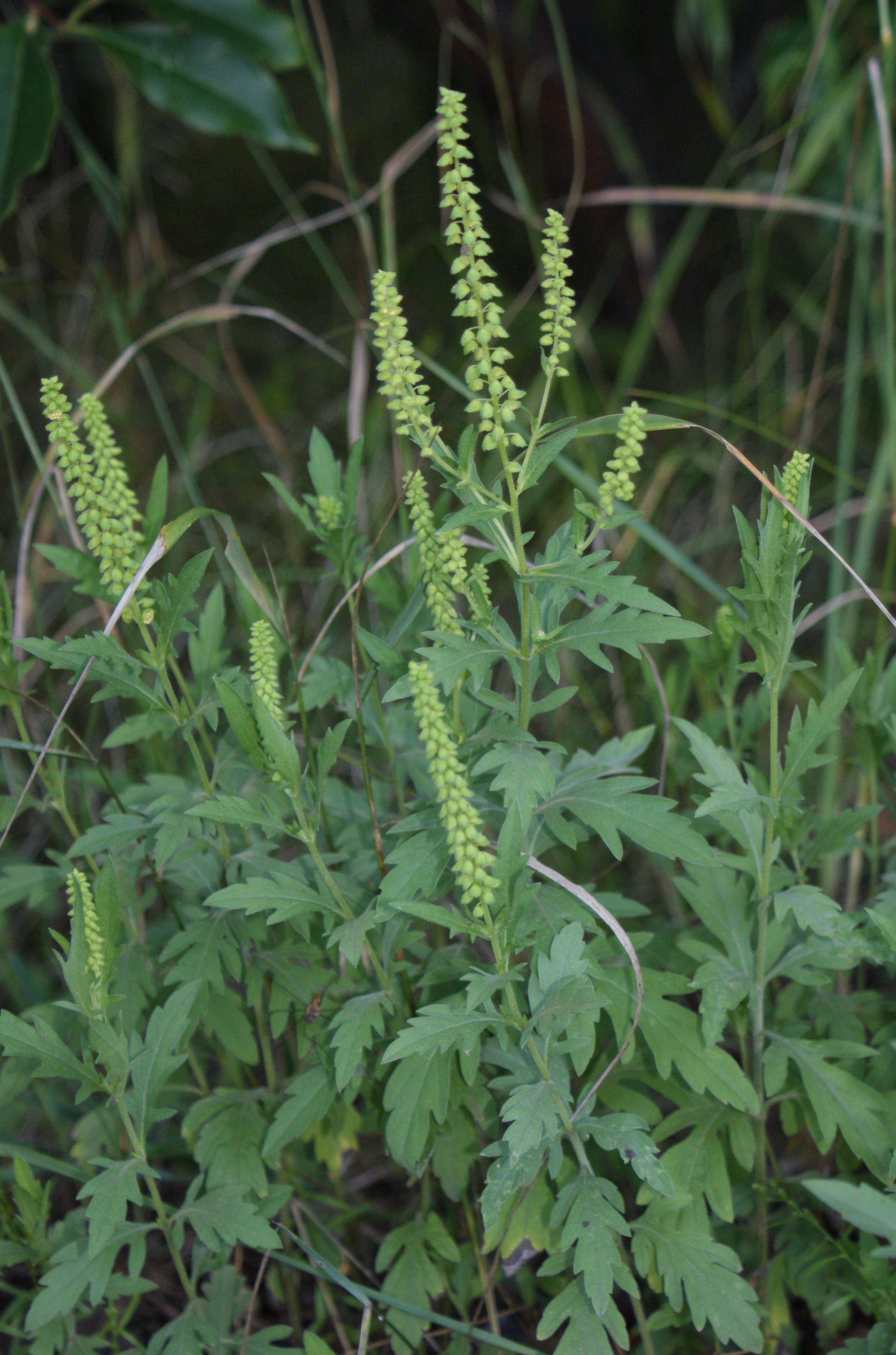 Western ragweed, Ambrosia psilostachya, invasive plant, north american weed, invasive plants in india, alien plants