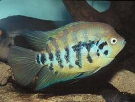 <i>Archocentrus</i> genus of cichlid fishes