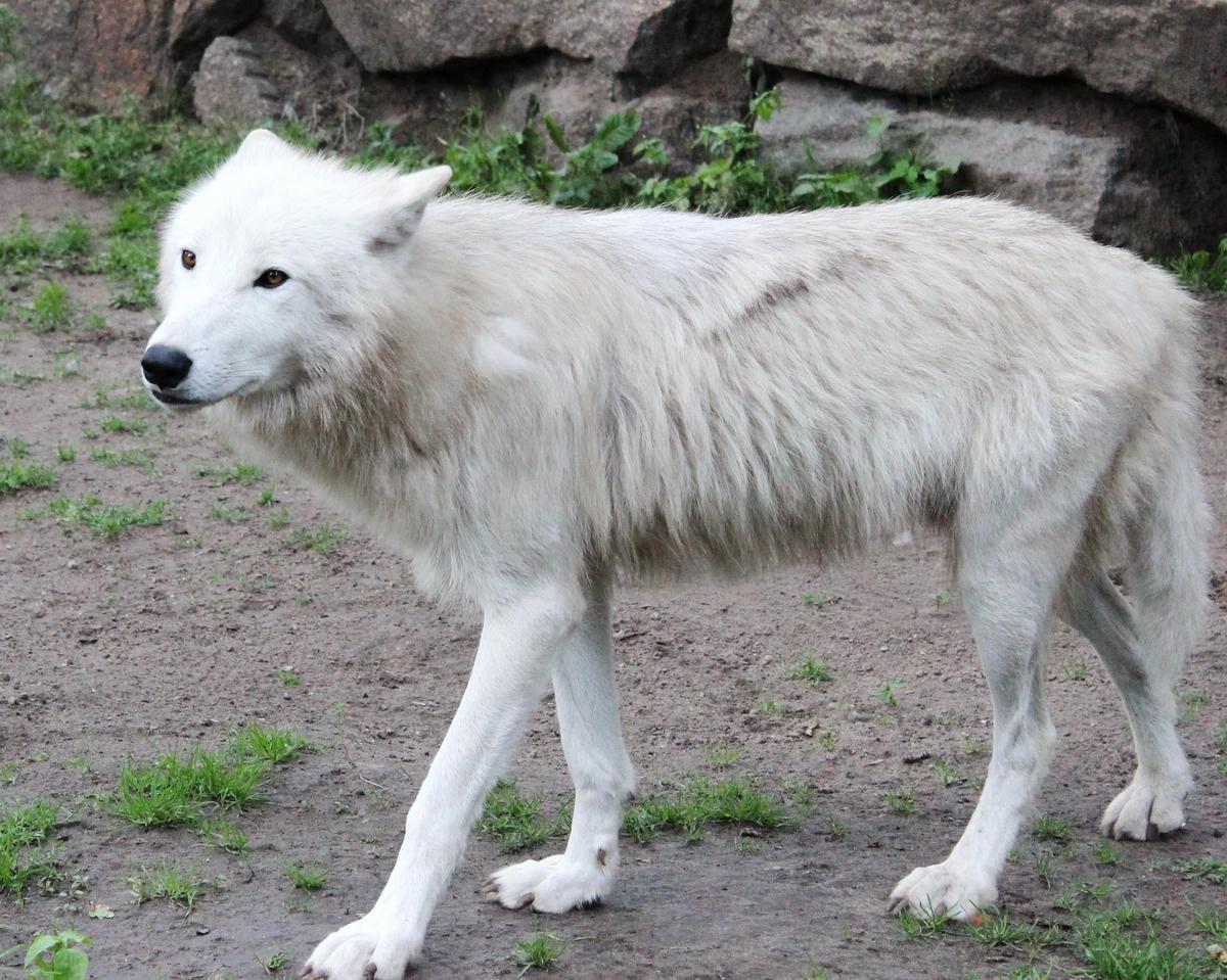 File:Arctic wolf Berlin.JPG - Wikimedia Commons