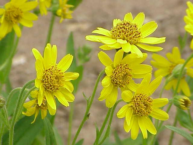 Arnica longifolia0