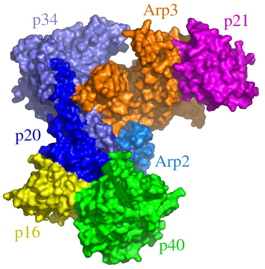 arp23 complex wikipedia