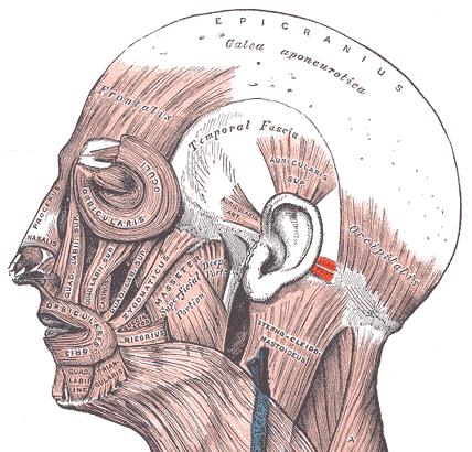 Músculo auricular posterior - Wikipedia, la enciclopedia libre