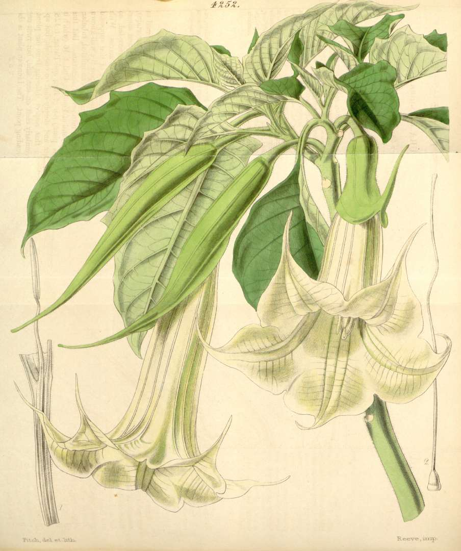 https://upload.wikimedia.org/wikipedia/commons/a/ae/Brugmansia_arborea~Datura_cornigera.jpg