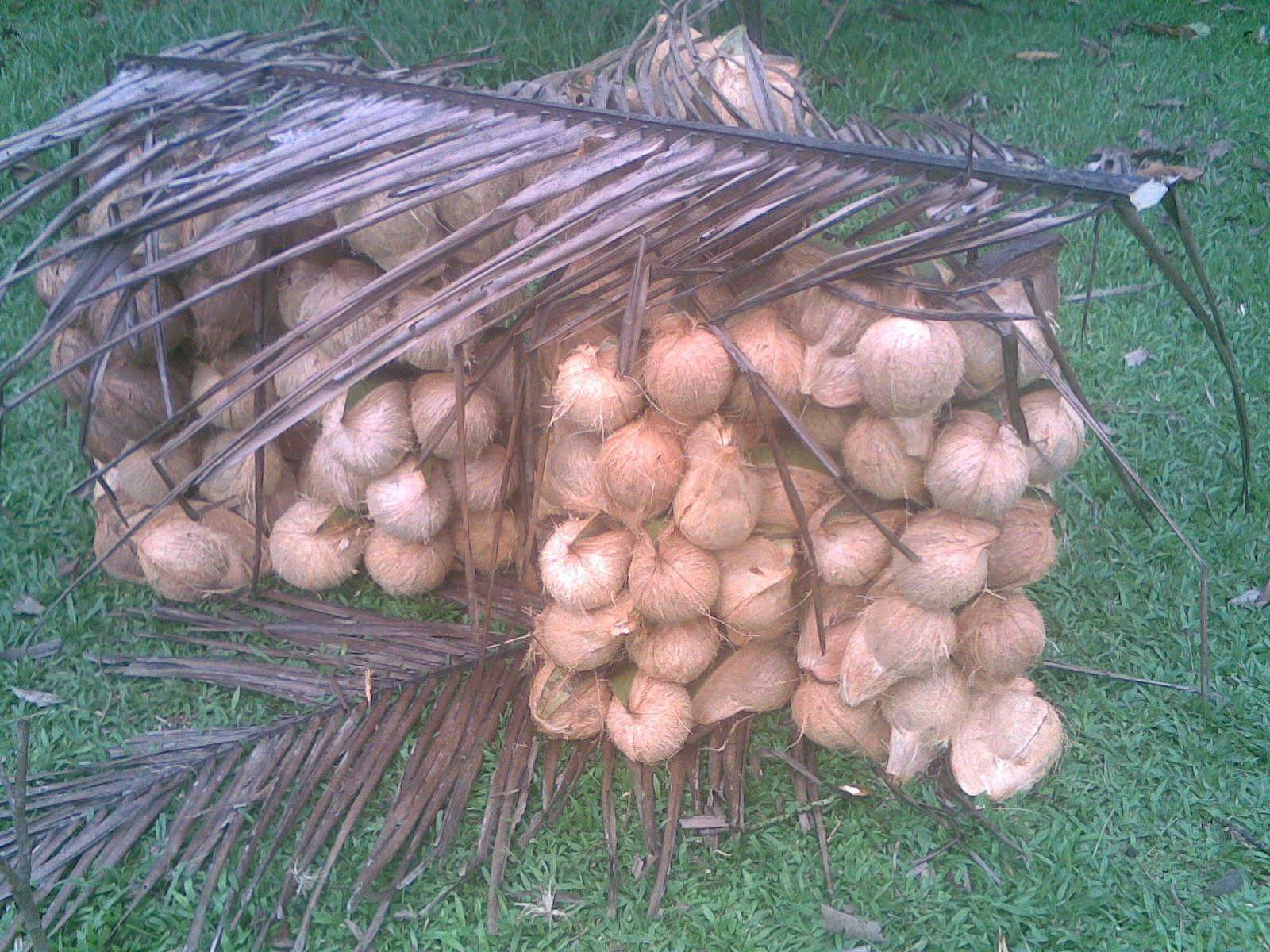 File:Buah kelapa - panoramio.jpg