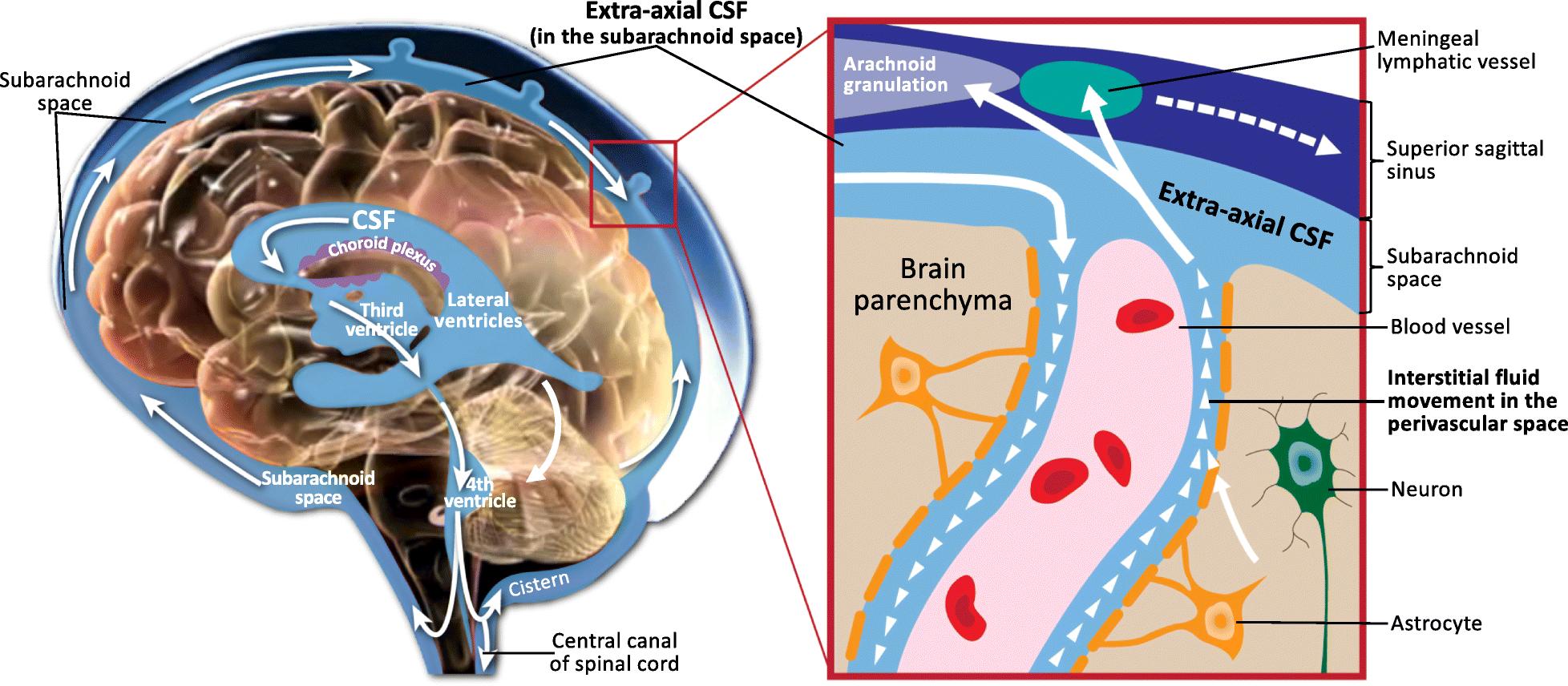Choroid plexus   Wikiwand