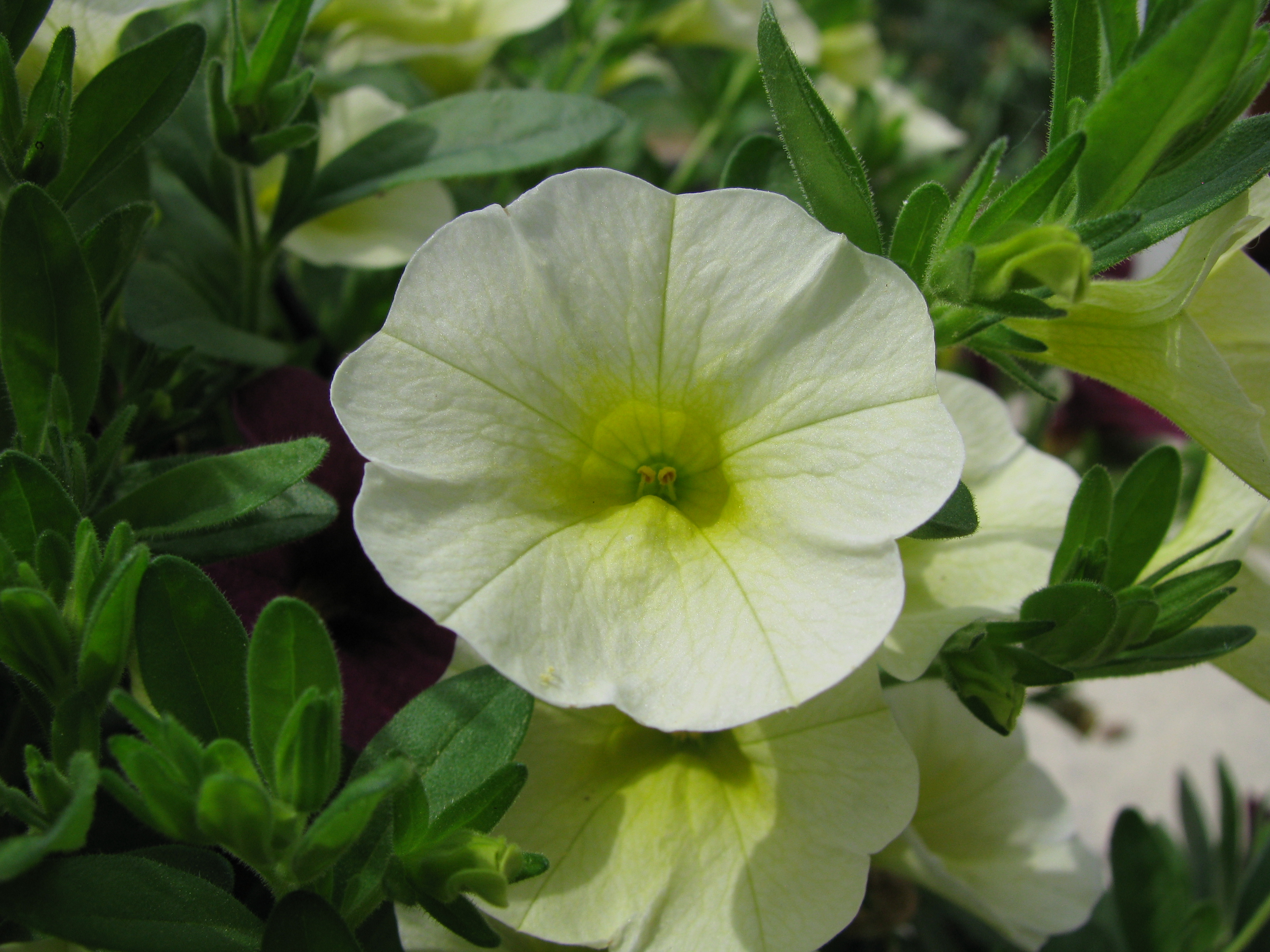 File calibrachoa 39 superbells yellow chiffon 39 jpg - Calibrachoa superbells ...