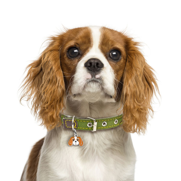 King Cavalier Dog Pictures