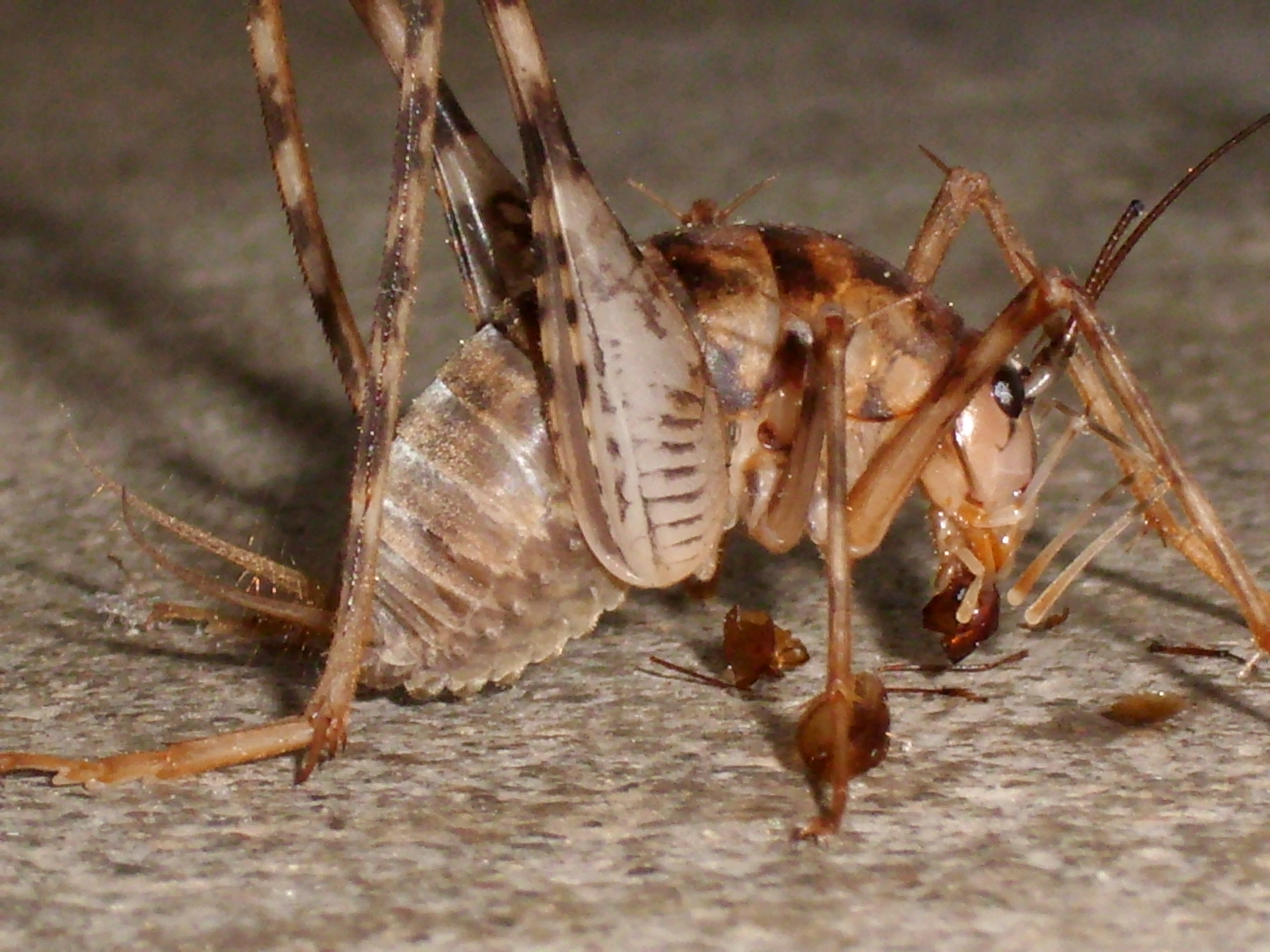 file cave cricket 01 jpg wikimedia commons 3648x2736 jpeg