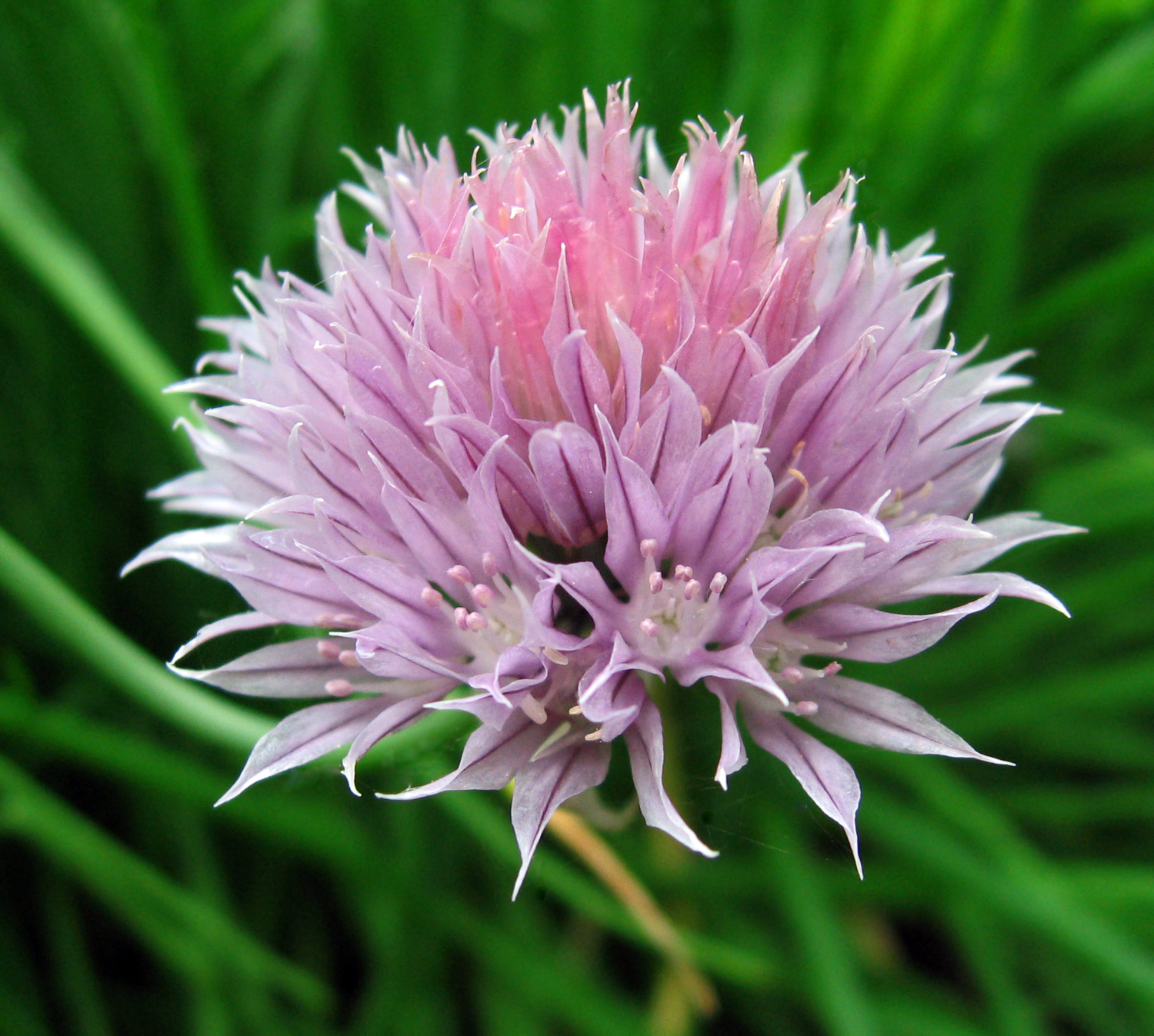 Image result for Siberian chives
