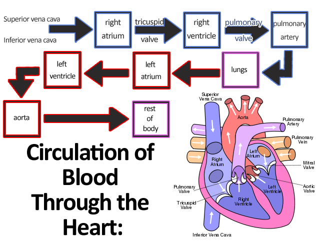 blood flow through the heart step by step flow chart: File circulation of blood through the heart jpg wikimedia commons