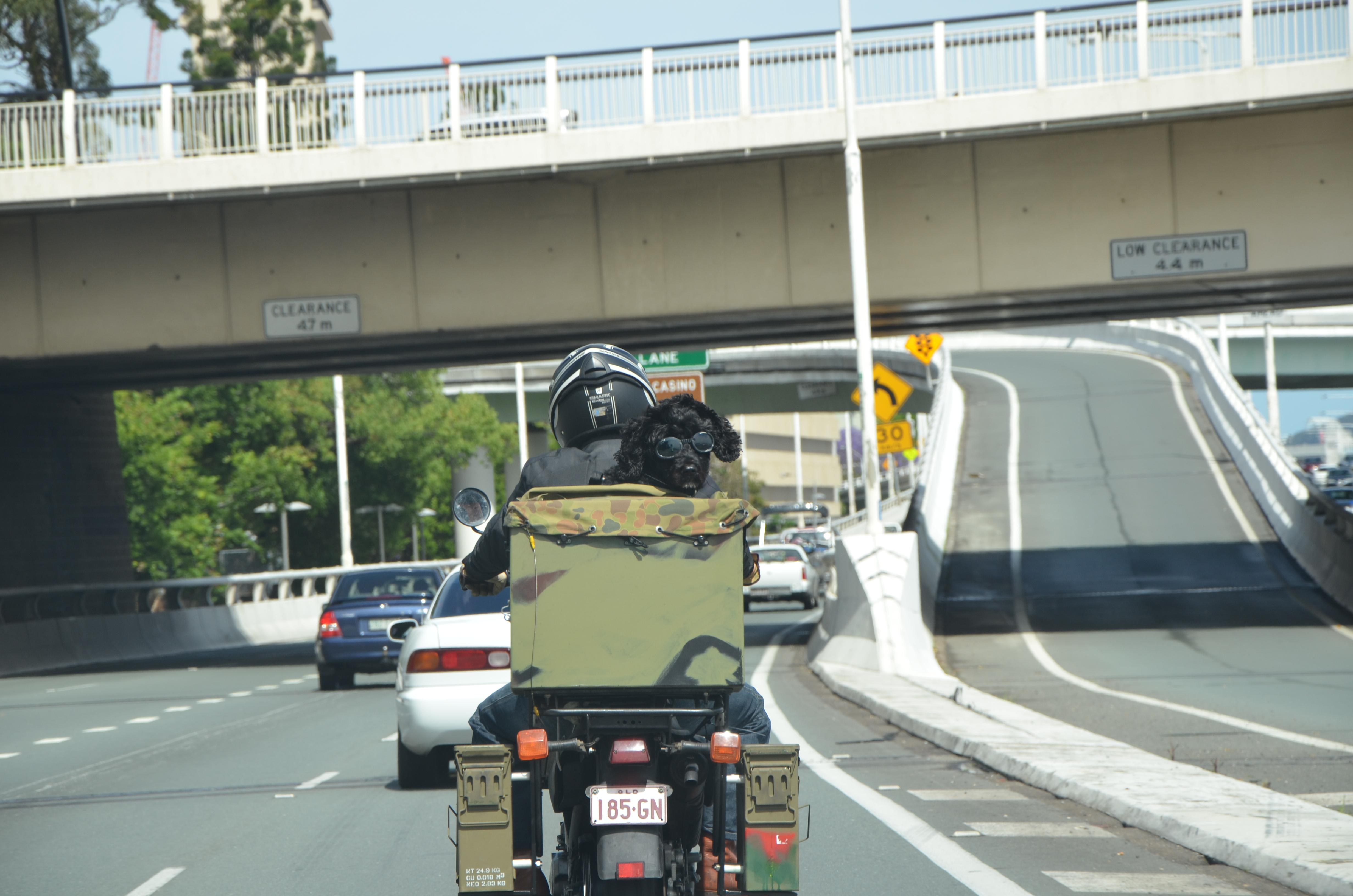 File:Dog on Riverside Expressway Brisbane JPG - Wikimedia