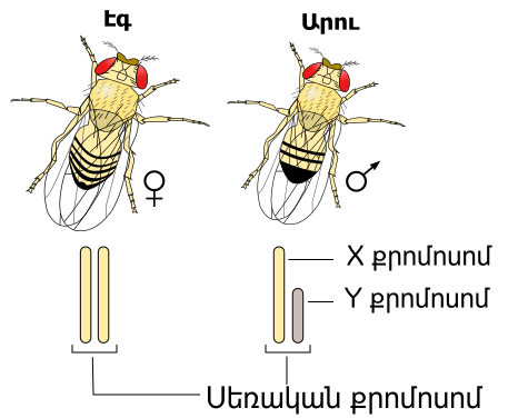 Filedrosophila Xy Sex Determination Hyg Wikimedia Commons