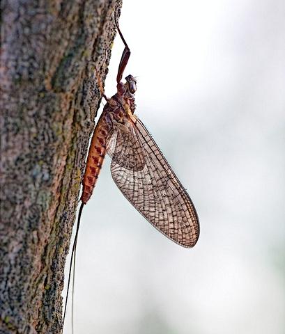 Dupophilus sp.