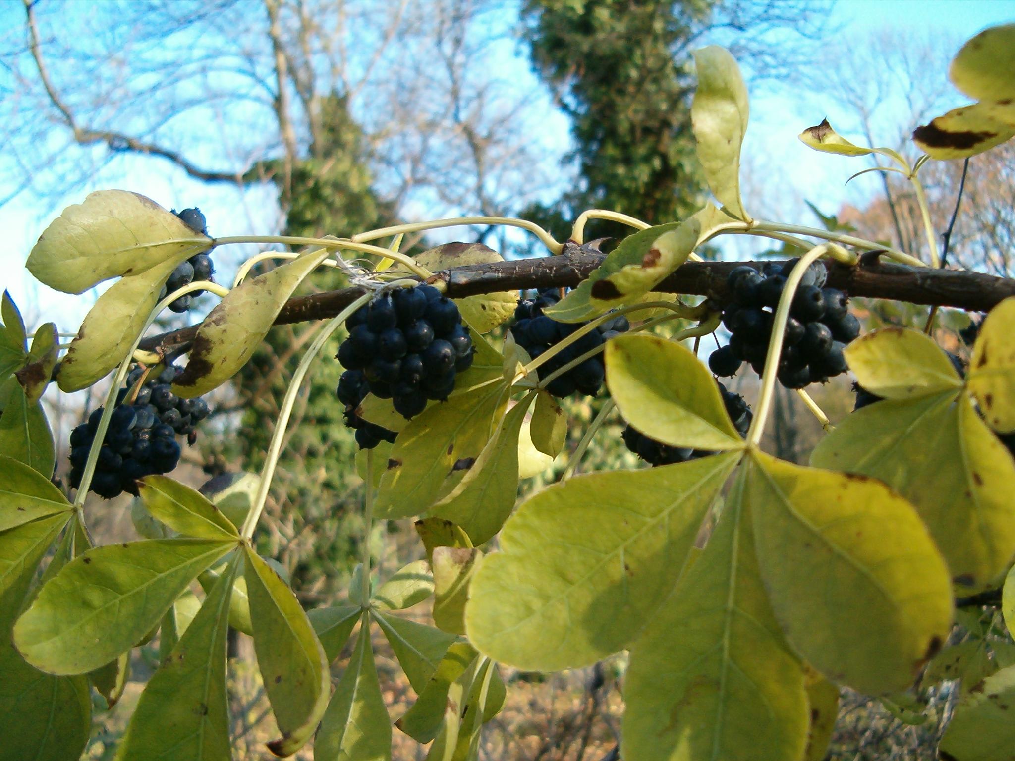 Общие сведения о растении элеутерококке колючем