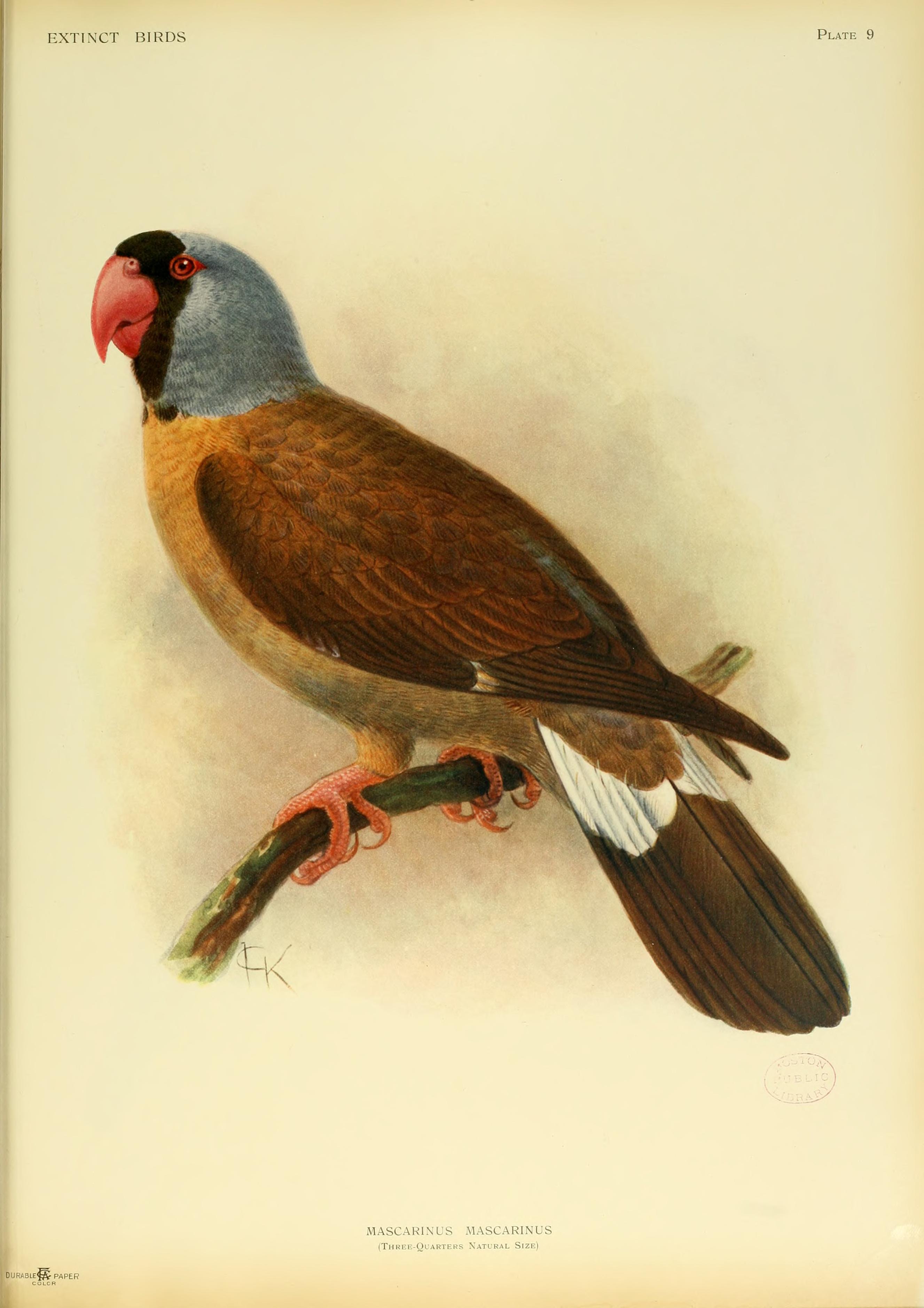 Вымершие и уничтоженные виды попугаев и других птиц Extinctbirds1907_P9_Mascarinus_mascarinus0299