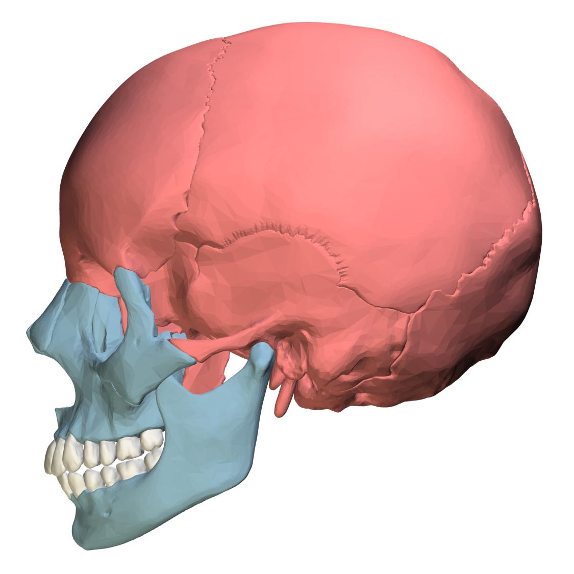 Filefacial Bones And Cranial Bones Lateral Viewg Wikimedia