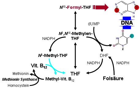 Gesimplificeerde weergave van de folaatstofwisseling en de interactie met de stofwisseling van vitamine B12. Legenda: DHF = dihydrofolaat, THF = tetrahydrofolaat