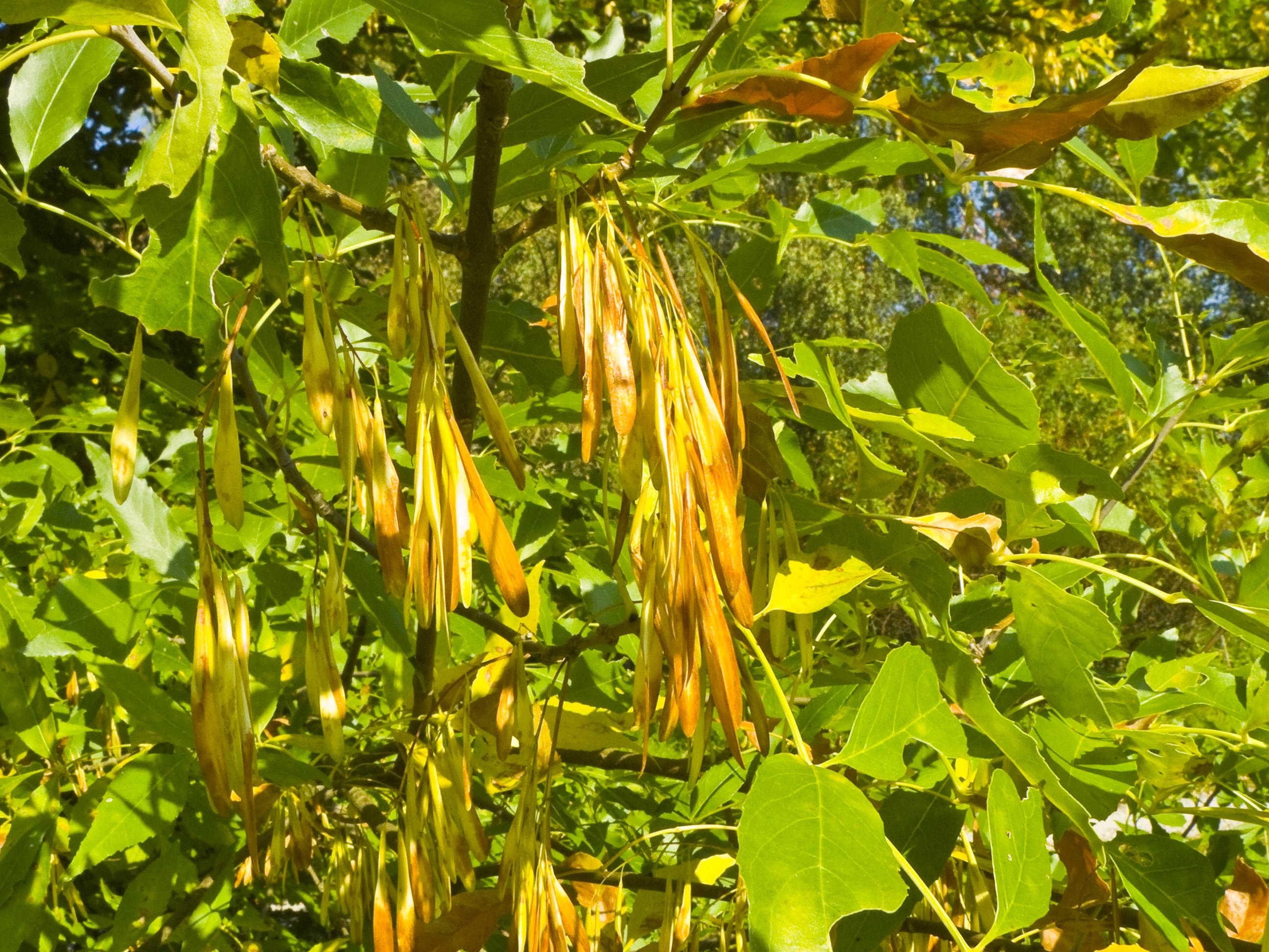 Листья плоды ясеня фото