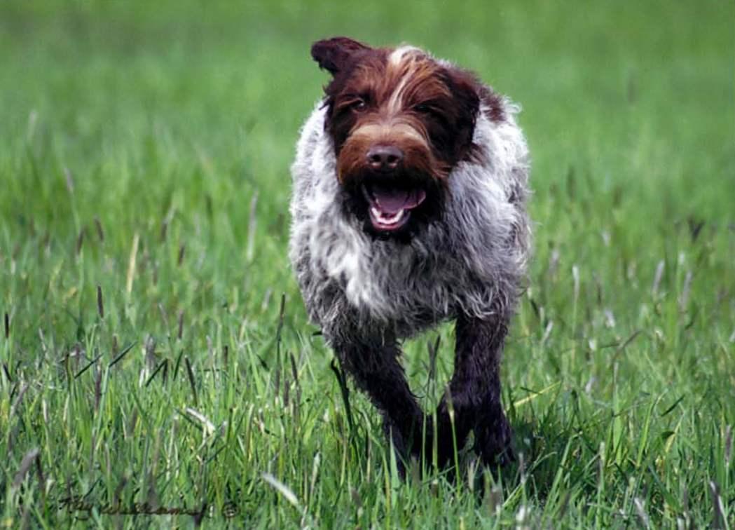 Big Hypoallergenic Dog Breeds
