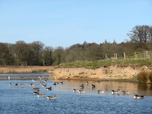 Geese on Felbrigg Pond - geograph.org.uk - 724695