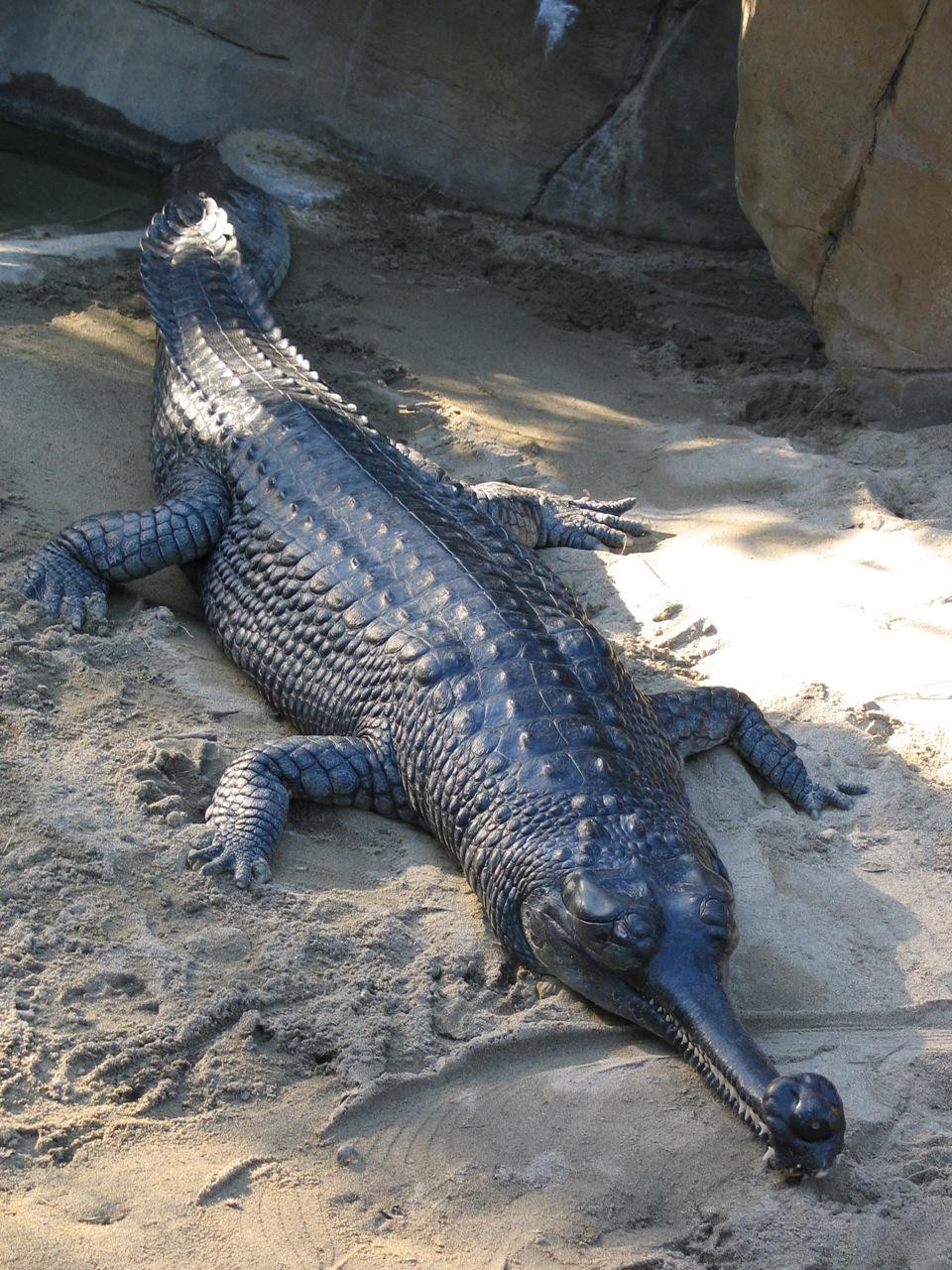 Crocodile vs alligator vs caiman vs gharial - photo#23