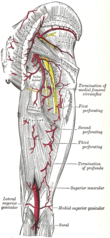 Perforating arteries - Wikipedia