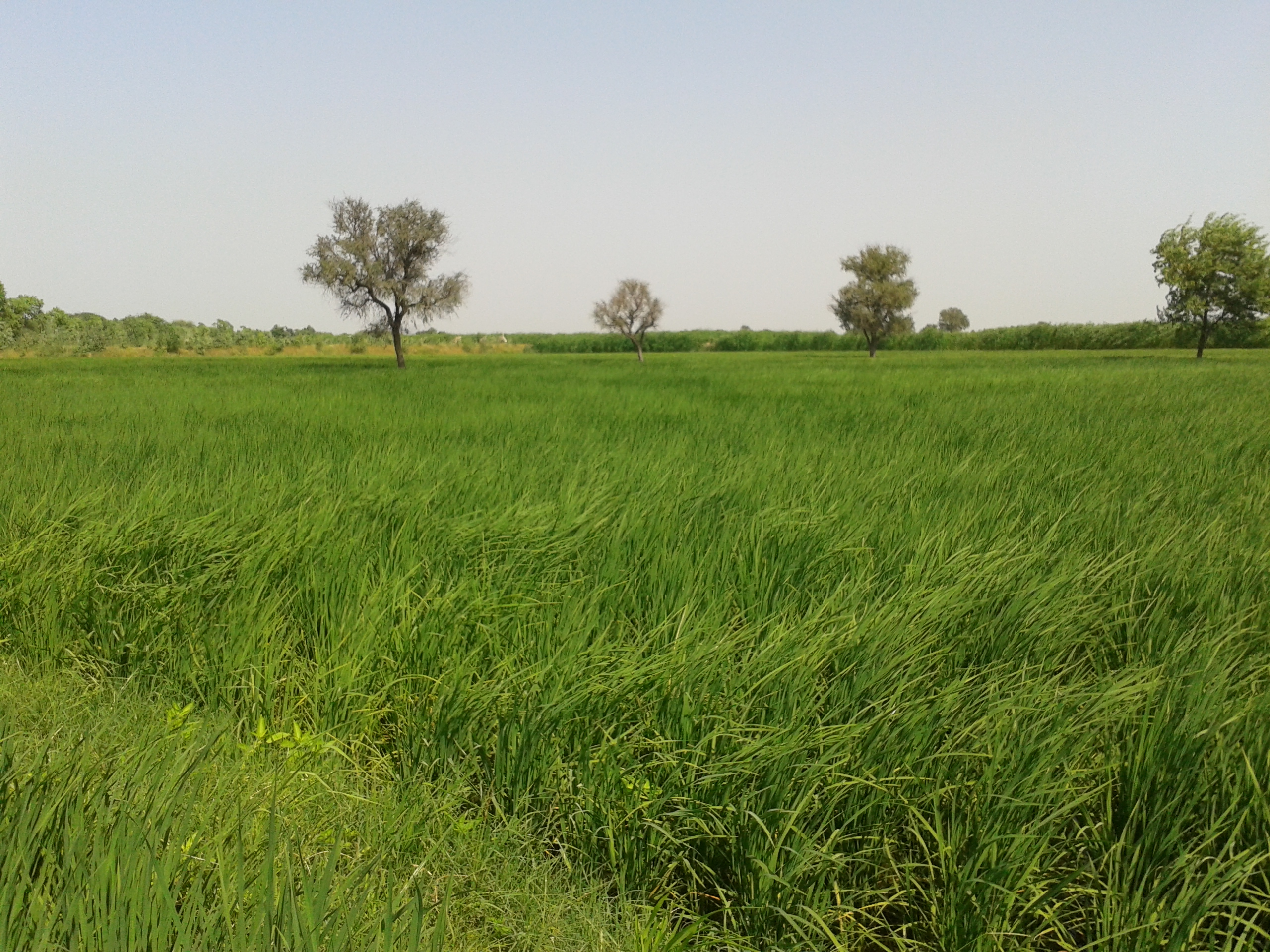 File:Green & Fresh Environment In Katopuri Village,, A