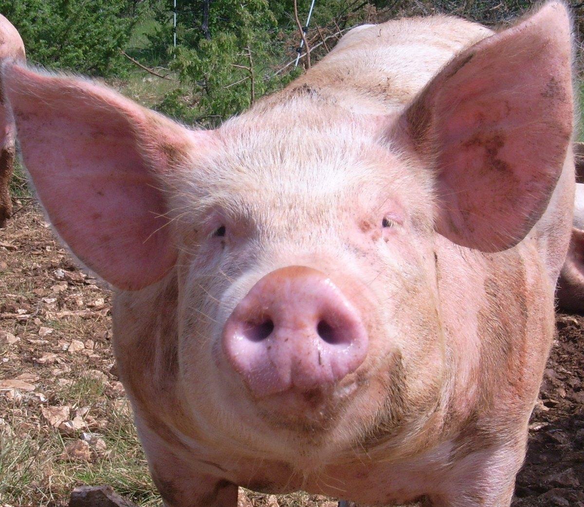 Gros Porc.jpg