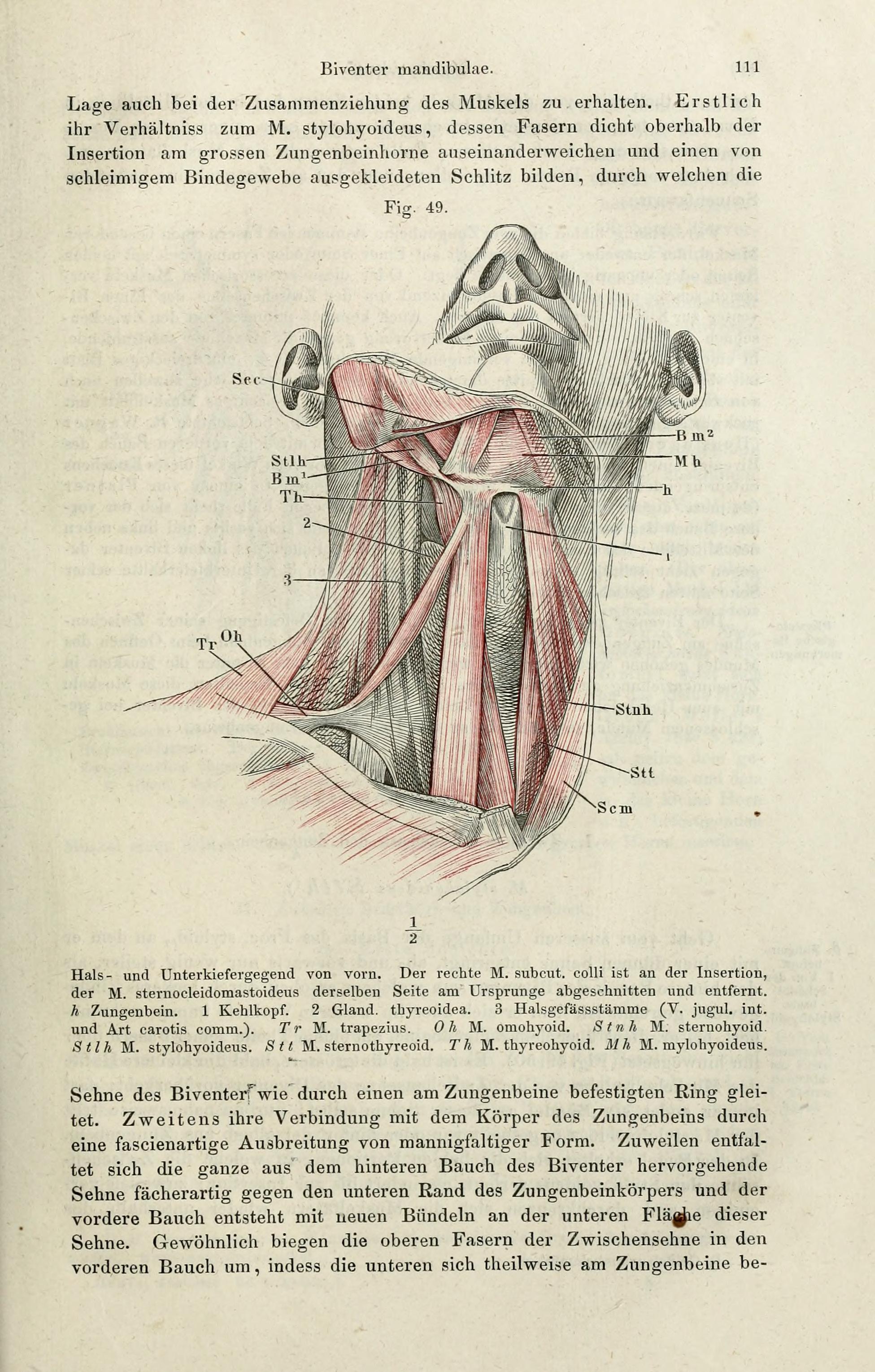 File:Handbuch der systematischen Anatomie des Menschen (Page 111 ...