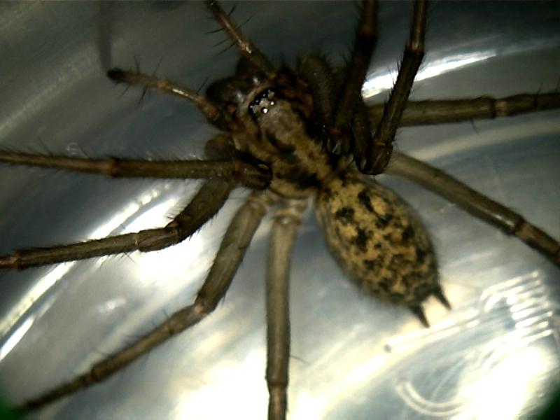 File:Hobo Spider.jpg - Wikimedia Commons
