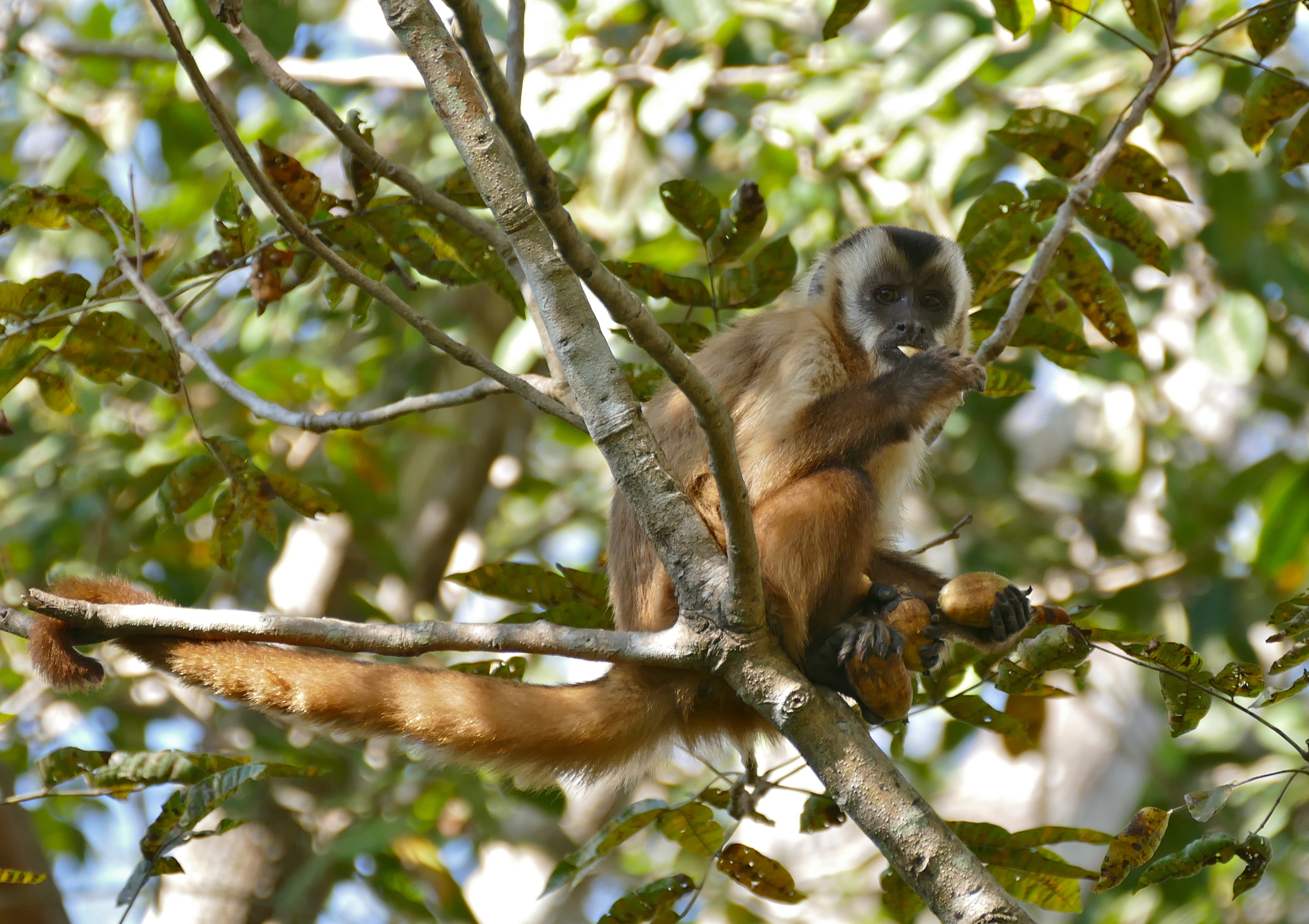 San Rafael's forests are home to a multitude of species, including this hooded capuchin (Sapajus cay). Image by Bernard Dupont via Wikimedia Commons (CC BY-SA 2.0).