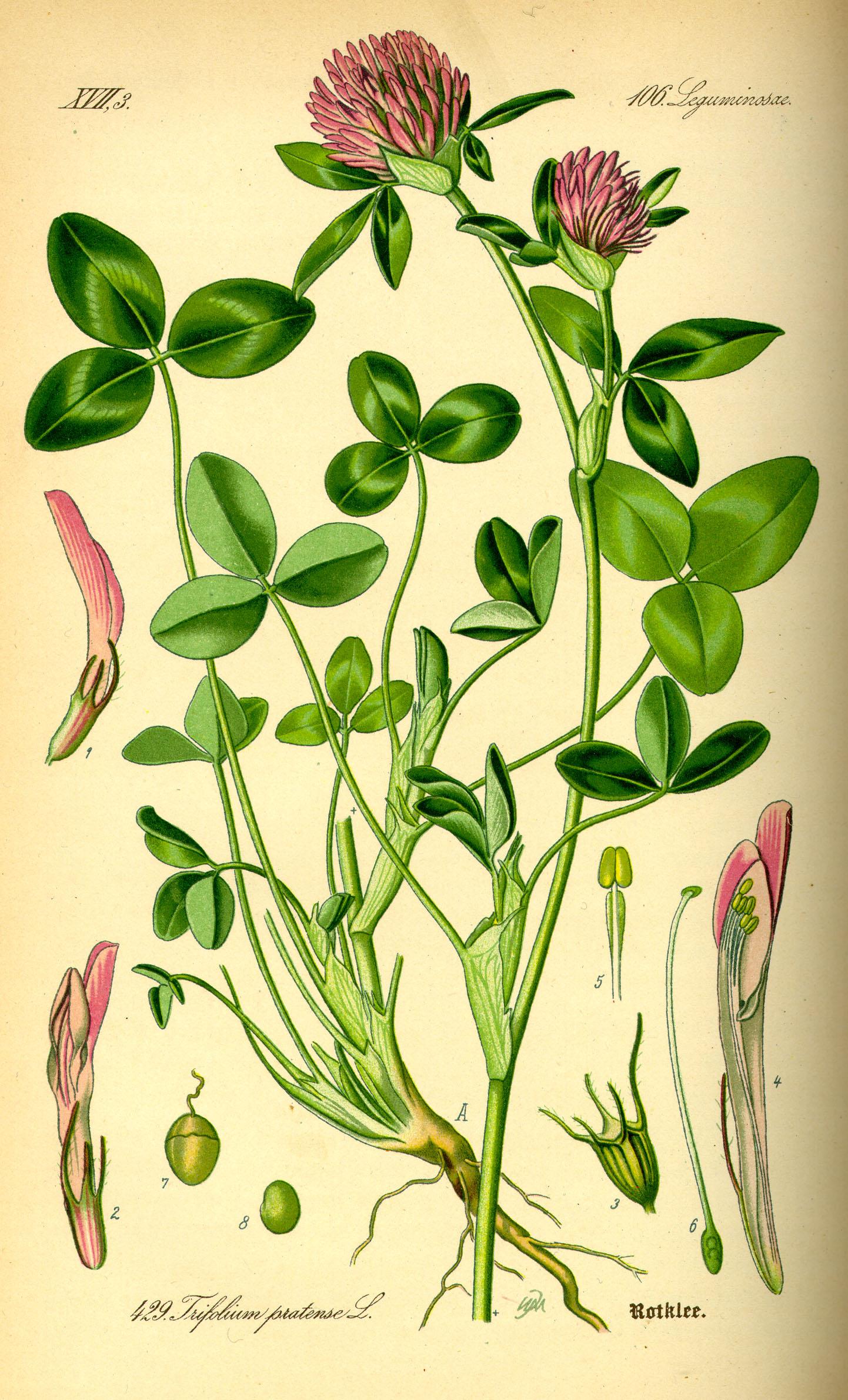 Trifolium pratense - Ensembl Genomes 34