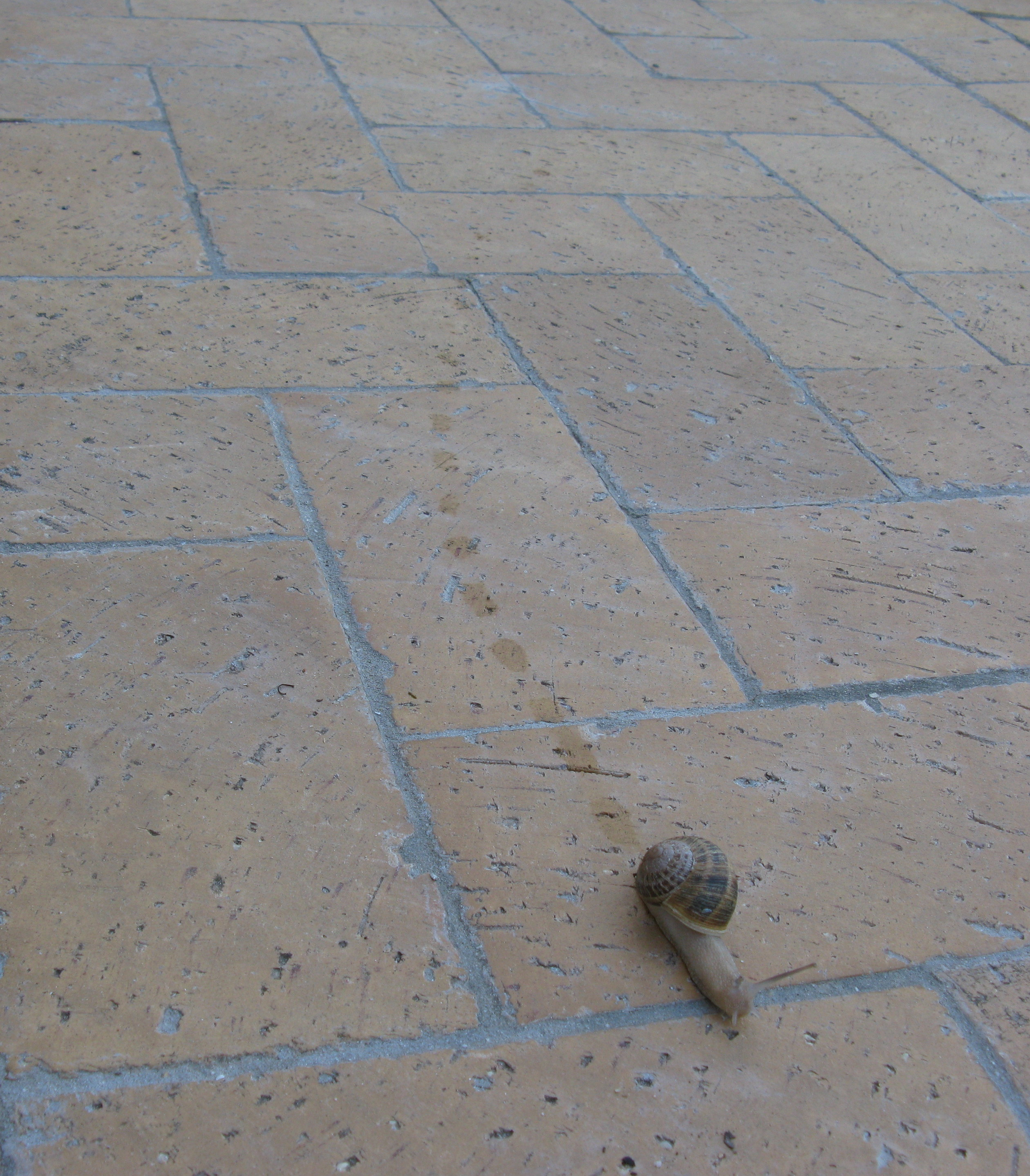 File:Land Gastropod leaving mucus-conserving trail IMG 1670s