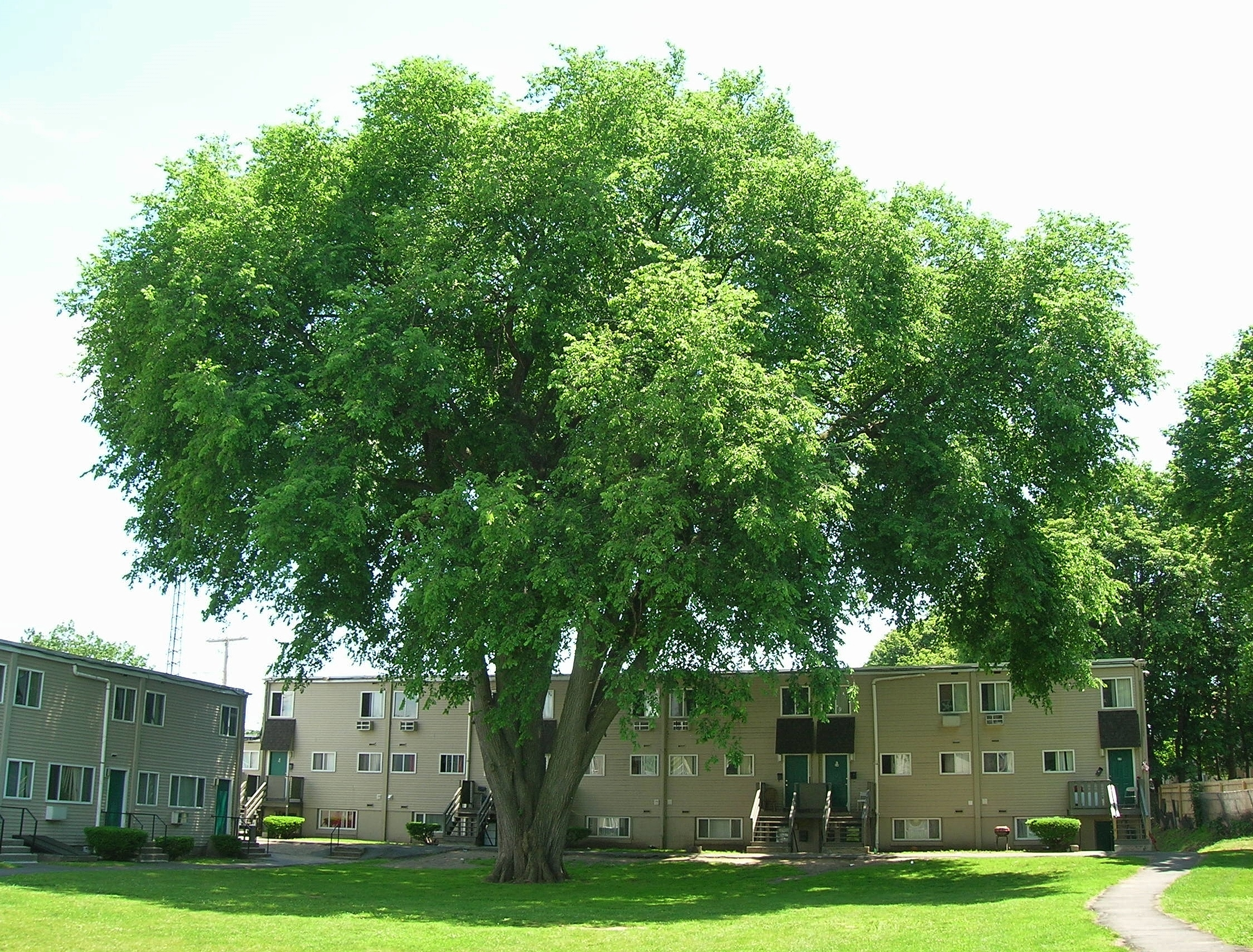 American Elm - 100 Most Common North American Trees