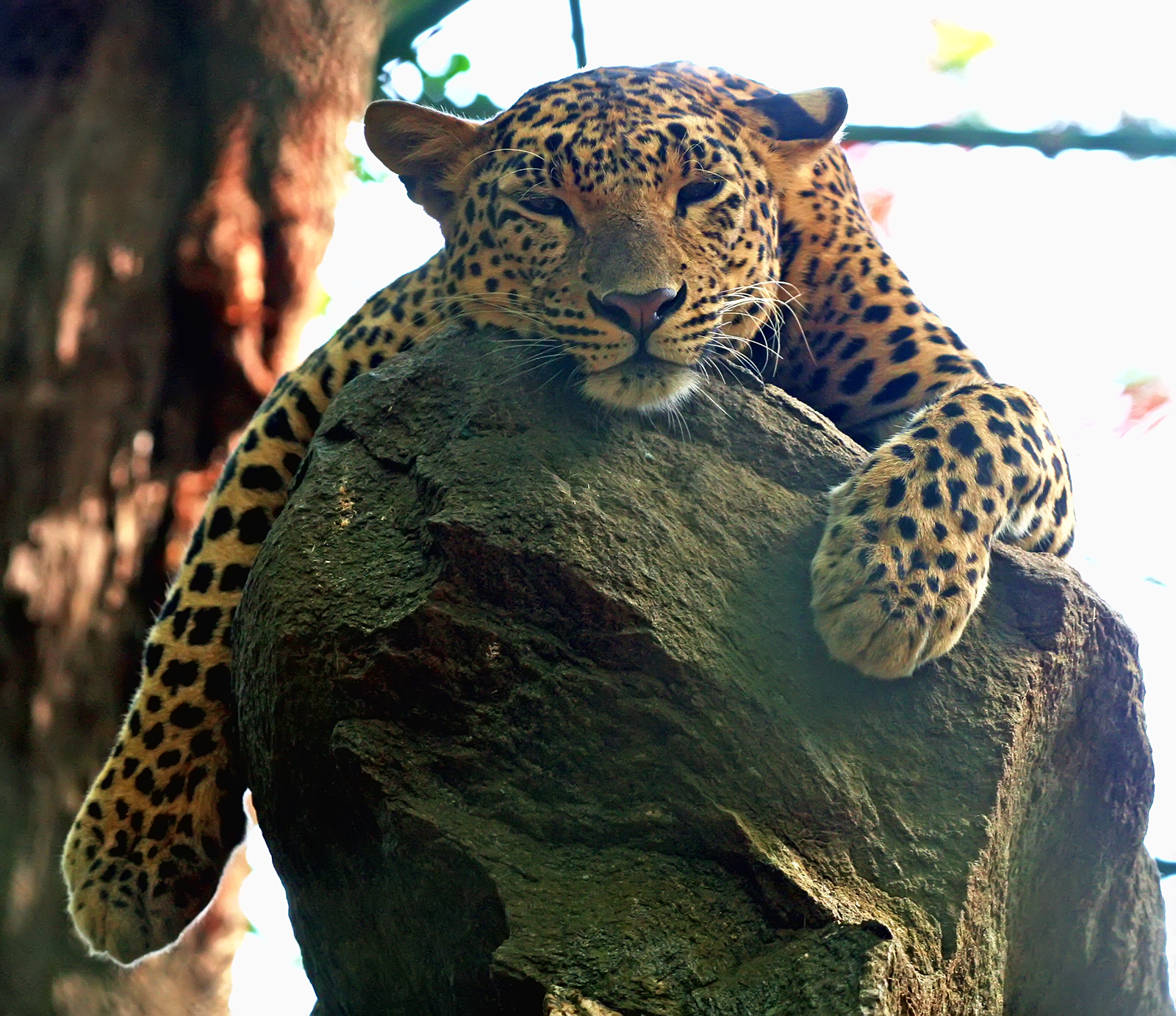 Soubor:Leopard.jpg