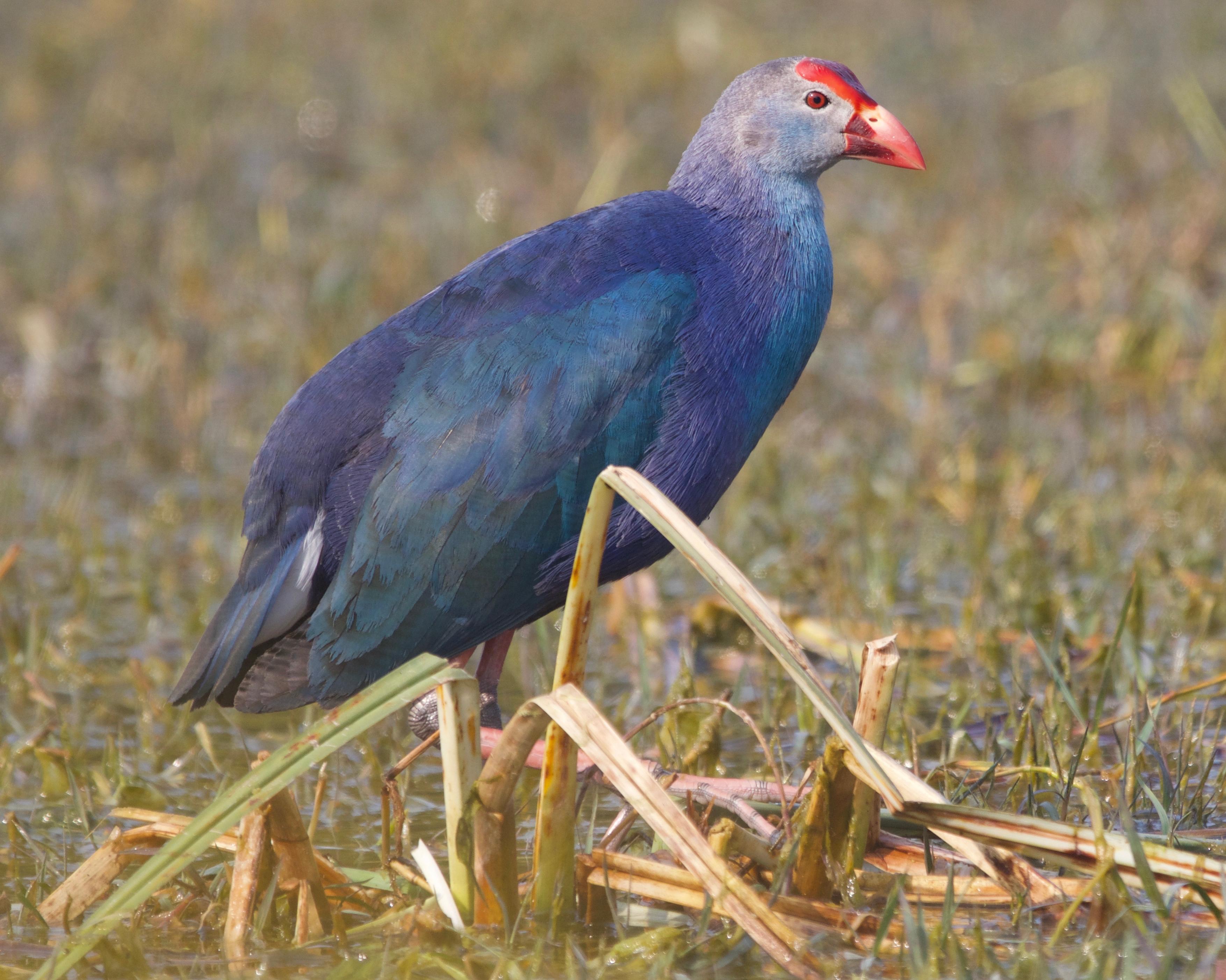 Lipstick bird.jpg English: Migratory season at Keoladeo National Park, Bharatpur, Rajasthan. Feb 2020. Date 10 February 2020, 09:57:15 Source