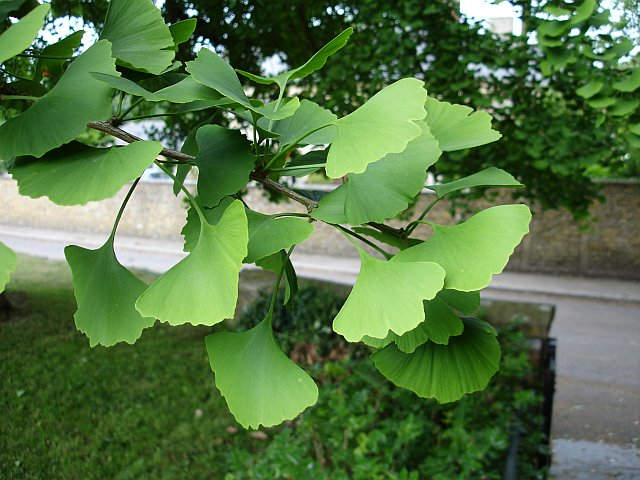 Description Maidenhair tree - detail - geograph.org.uk - 195161.jpg: https://commons.wikimedia.org/wiki/File:Maidenhair_tree_-_detail_...