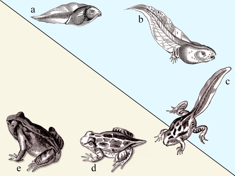 Premena žubrienky na žabu