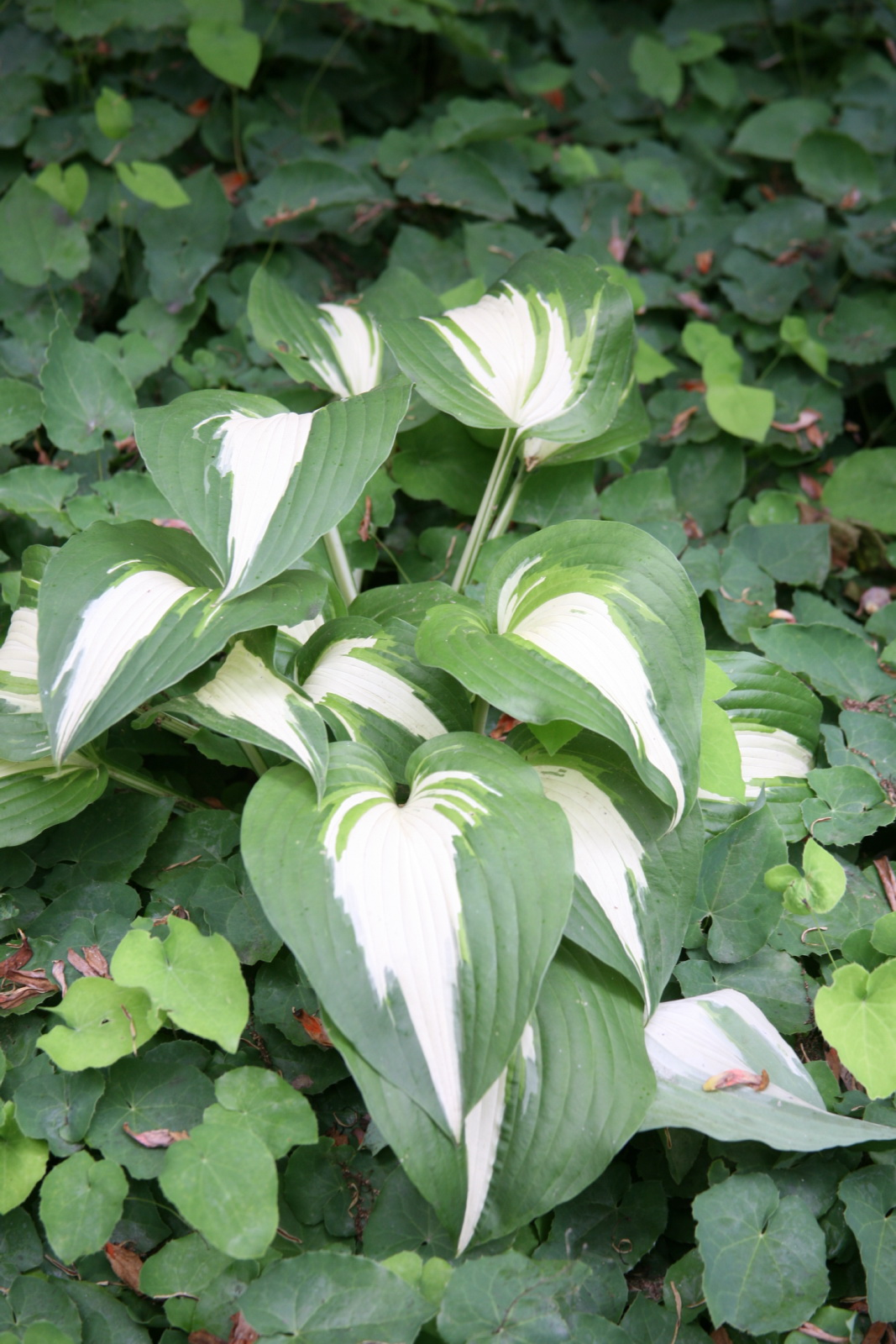 File:Night Before Christmas (Hosta) (3577718006).jpg - Wikimedia ...
