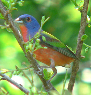 http://upload.wikimedia.org/wikipedia/commons/a/ae/Painted_Bunting%2C_2005%2C_Edmond%2C_Oklahoma_USA.jpg