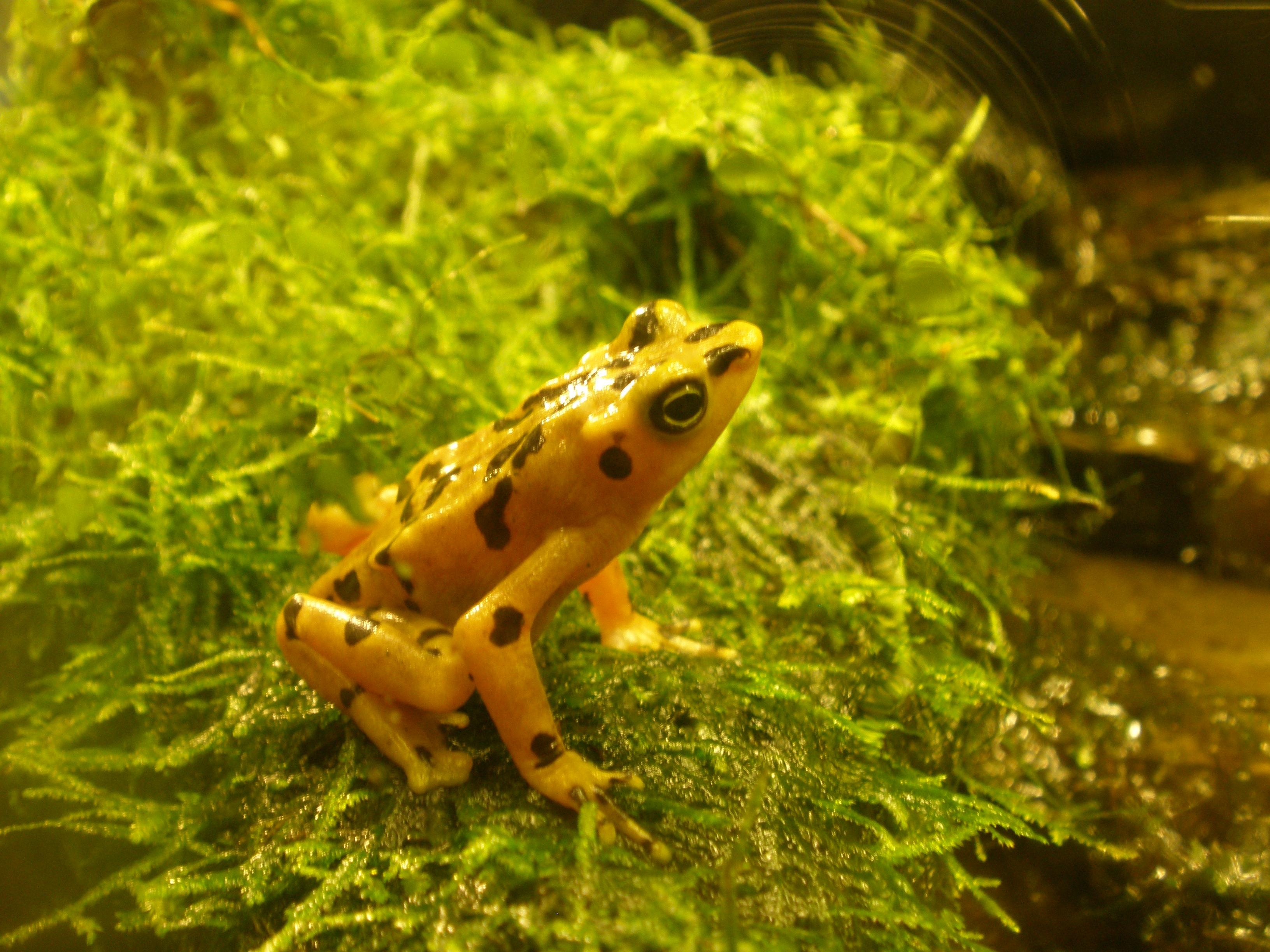Image result for Panamanian Golden Frog (Atelopus zeteki)