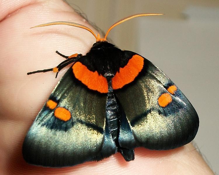 File:Peach Moth 29 06 2010.JPG