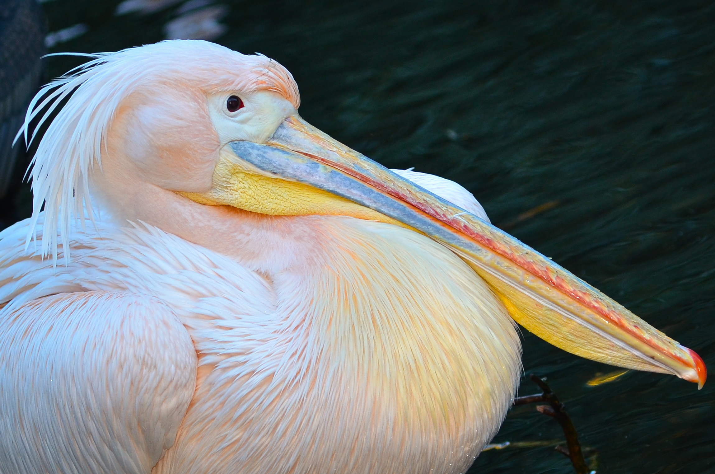 Розовый пеликан картинки для детей