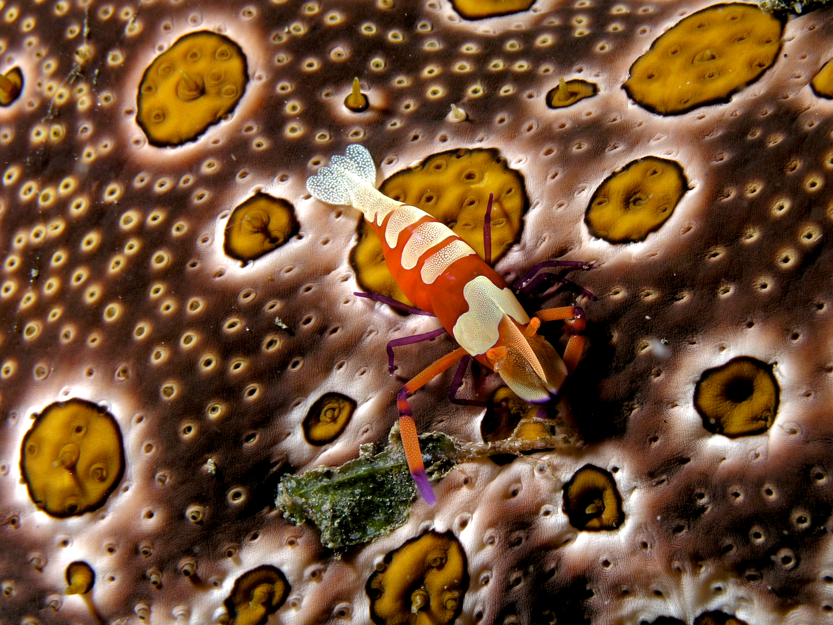 Shrimp Wikipedia 60 Parts Diagram As Well Marlin Model 336 On This Small Periclimenes Imperator Emperor Is Perched A Sea Cucumber With Which It Has Symbiotic Relationship