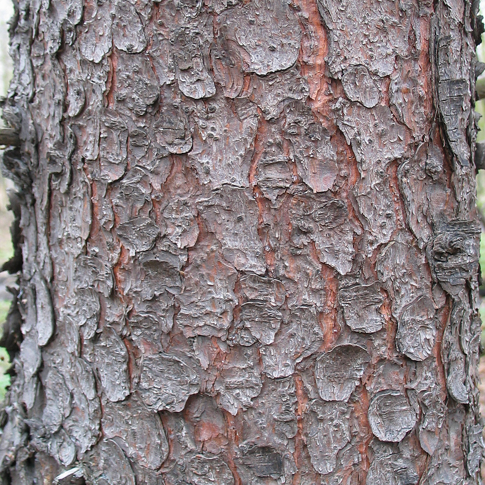 File picea abies bark jpg wikimedia commons