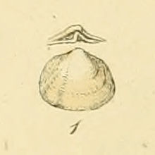 <i>Poromya granulata</i> species of mollusc