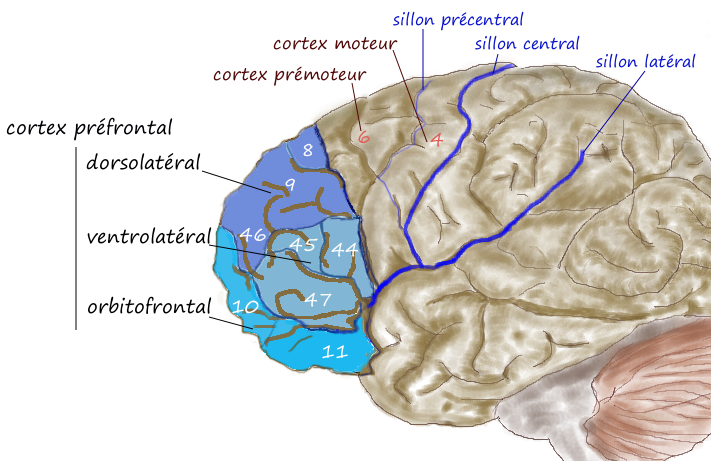 Dorsolateral prefrontal cortex - Wikipedia