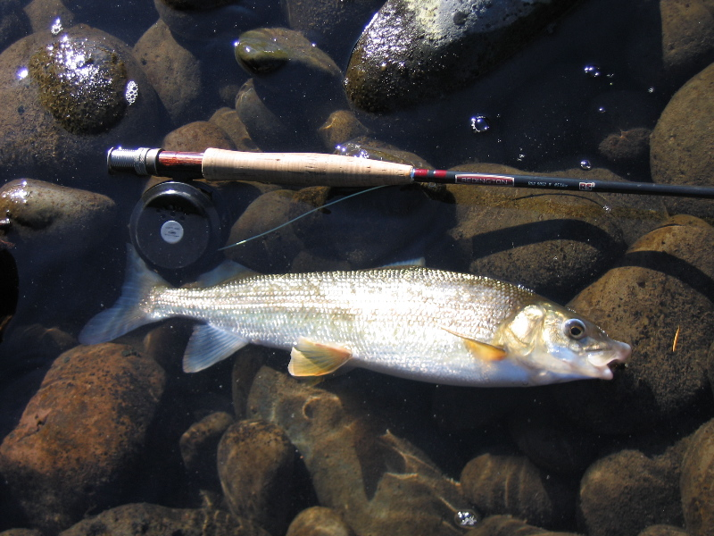 Fish facts mountain whitefish a k a mister white for Pictures of white fish