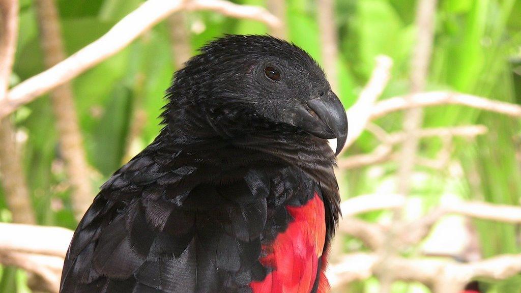 papagaio dracula papagaio de pesquet