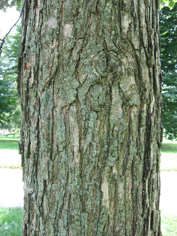 Quercus Bicolor Bark Description Que...